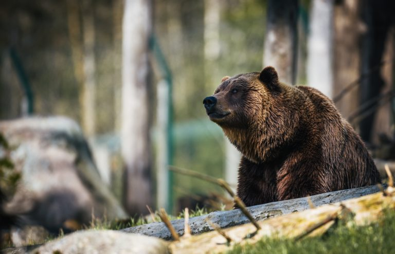 bear-kuma